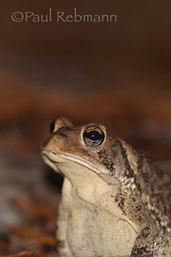 Anaxyrus terrestris - SOUTHERN TOAD