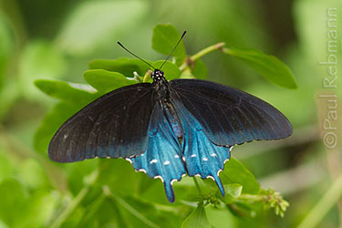 Battus philenor, PIPEVINE SWALLOWTAIL