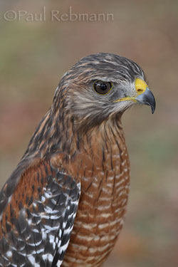 Buteo lineatus - RED SHOULDERED HAWK