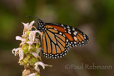 MONARCH - Danaus plexippus - on SPOTTED BEEBALM - Monarda punctata