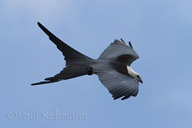 Elanoides forficatus - SWALLOW-TAILED KITE