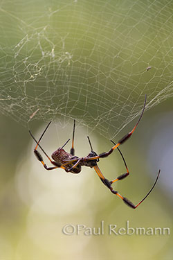 GOLDEN-SILK SPIDER - Nephila clavipes - BANANA SPIDER
