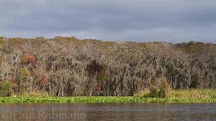 Winter Ibis Trees - Ocklawaha River
