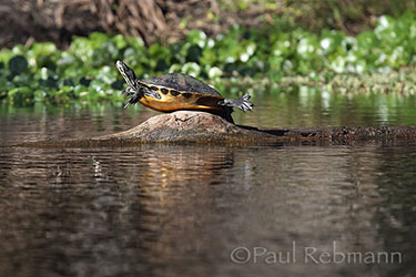 COOTER on ALLIGATOR LOG - Pseudemys floridana var. peninsularis