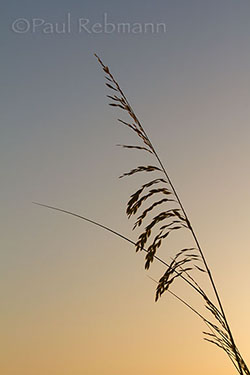 Seaoats at Dawn - Uniola paniculata