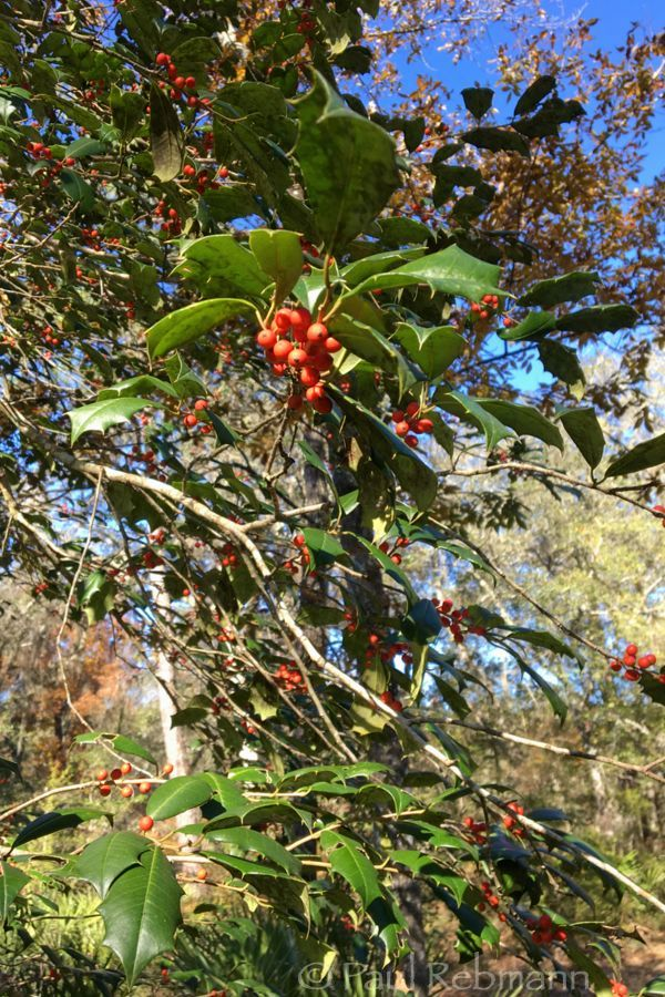 Ilex&nbspopaca - looking up into leafy branches with berries