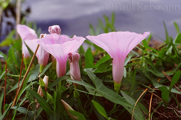 Saltmarsh Morning-glory - Ipomoea sagittata