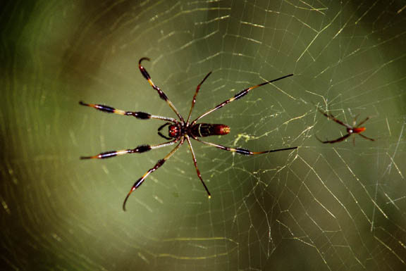 Nephila&nbspclavipes - The larger spider is the female, the male is the small one