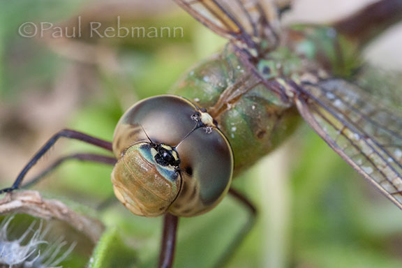 Anax junius - COMMON GREEN DARNER
