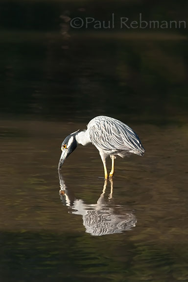 Yellow-crowned night heron - adult