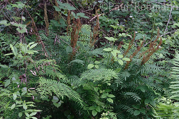 Osmunda&nbspcinnamomea - clump of ferns with sterile and fertile fronds