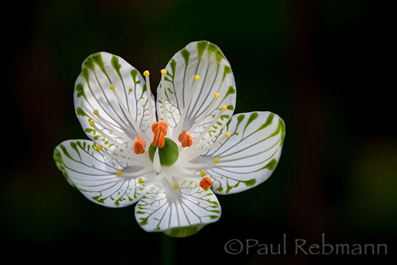 Parnassia&nbspgrandifolia - flower, close-up - angled view