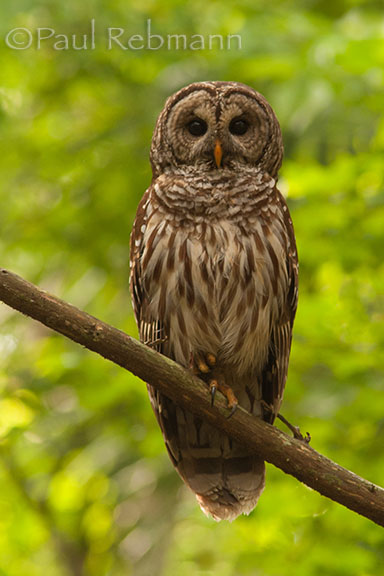 Standing Out In The Green - Barred Owl - Strix varia