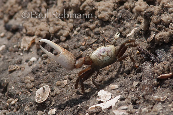 Sand fiddler crab - view from behind while posturing