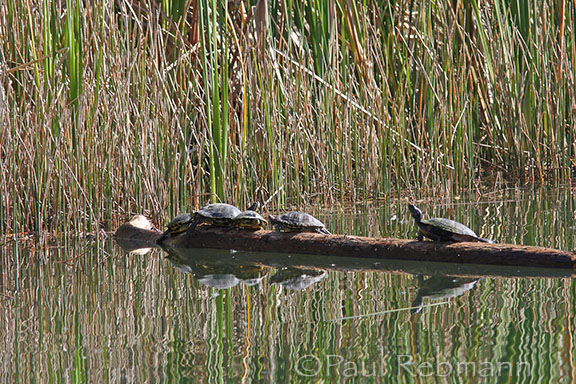 various cooters on log