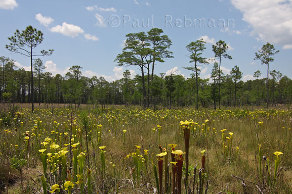 O Sarracenia - Sarracenia flava - Yellow Pitcherplants