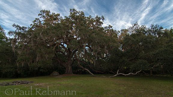 Fairchild Oak - Live Oak - Quercus virginiana