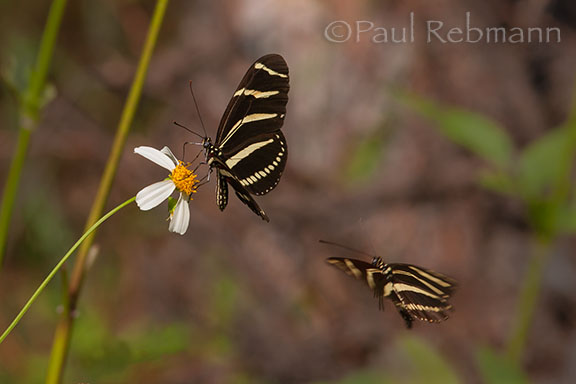 Zebra Longwing Butterflies - Heliconius charithonius