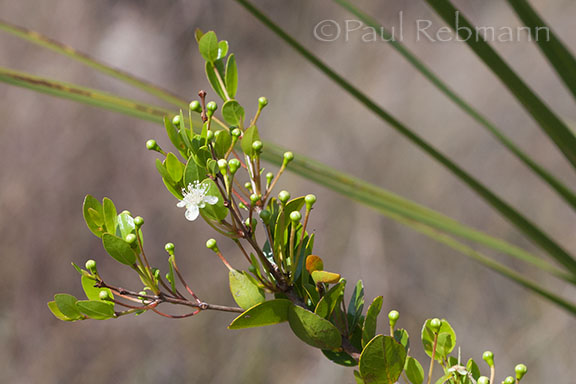 Myrcianthes&nbspfragrans - branch showing leaves flowers & buds
