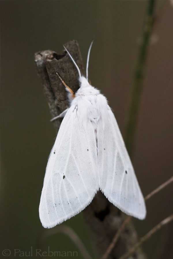 Spilosoma congrua -   AGREEABLE TIGER MOTH