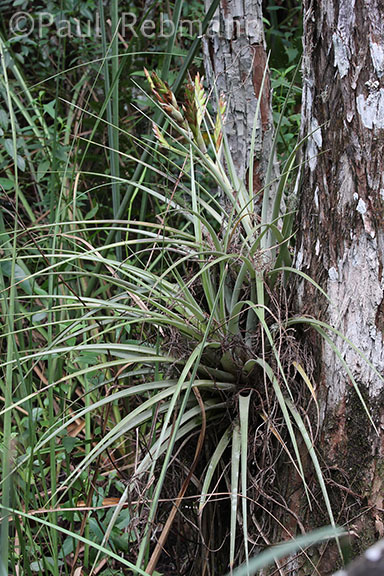 Tillandsia&nbspfasciculata - several plants, one with spike of buds