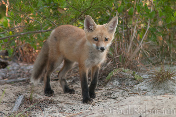 Red Fox Kit - Vulpes vulpes var. fulva