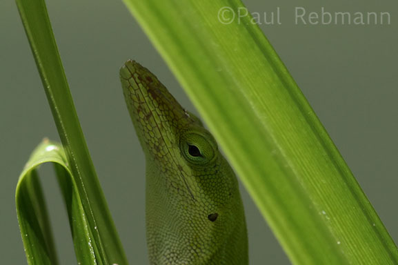 Anolis&nbspcarolinensis - side view of head, close-up