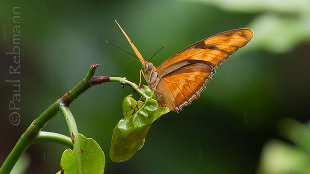 Julia butterfly at Wild Florida Photo