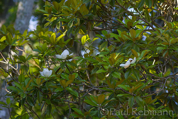 Magnolia&nbspgrandiflora - leafy branches with flowers, note rusty undersides of leaves