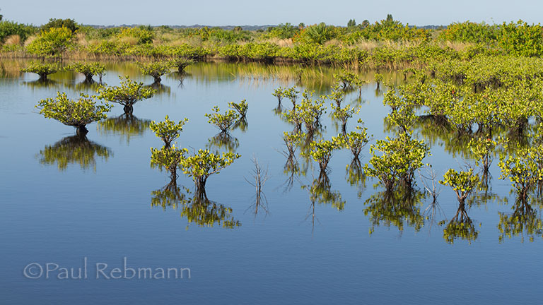 Rhizophora&nbspmangle - scattered mangroves and reflections, great egret in background