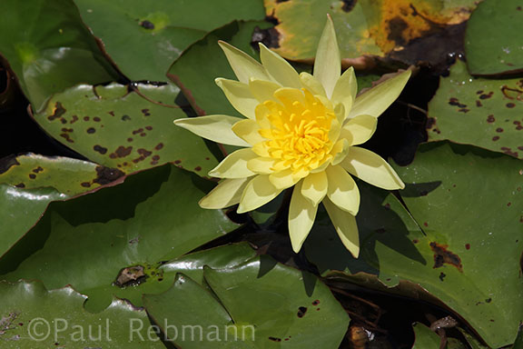 Nymphaea mexicana