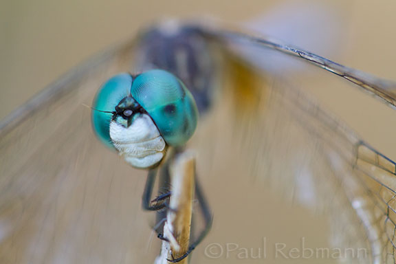Blue Dasher Dragonfly #1 - Pachydiplax longipennis