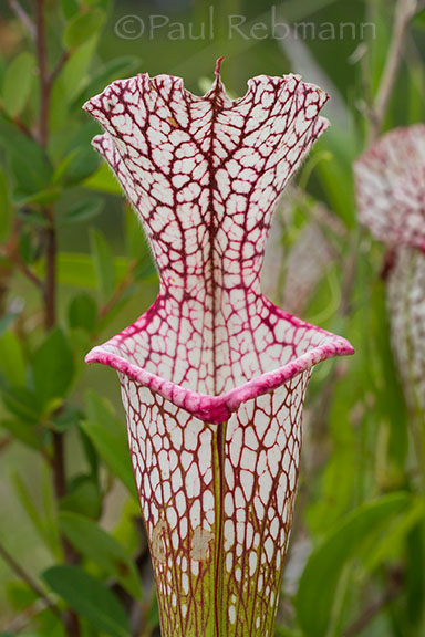 Whitetop Pitcherplant - Sarracenia leucophylla