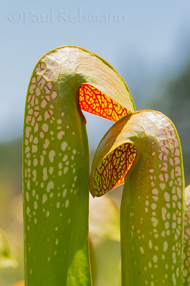 Pitcherplant Hoods - Sarracenia minor