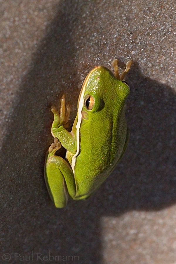 Hyla&nbspcinerea - view from in front of and above frog